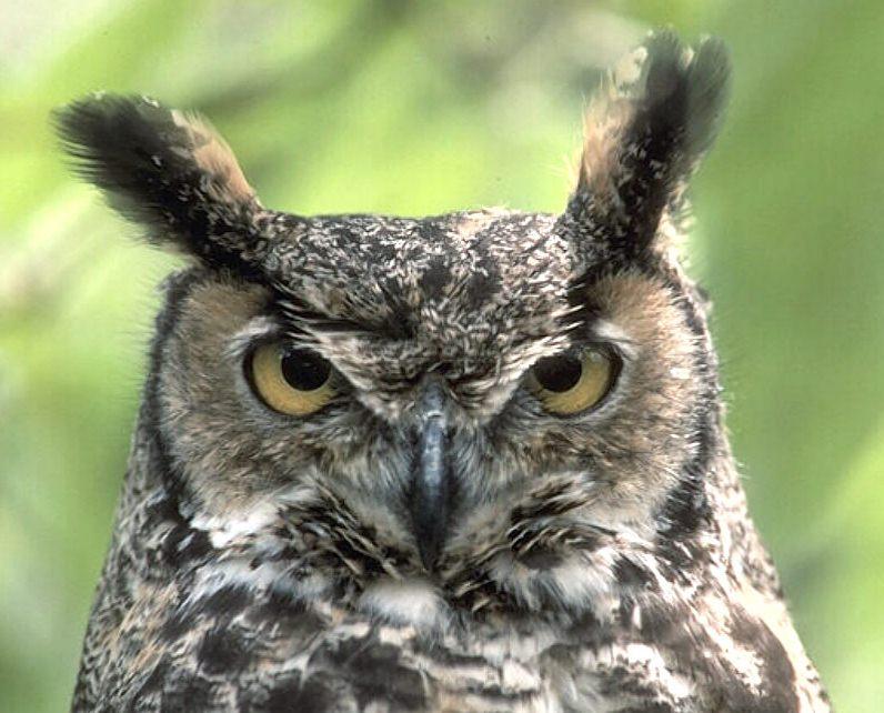 perdue owl