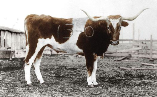 Bevo_Branded_Colorized