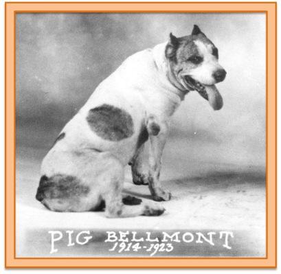 Pig Bellmont